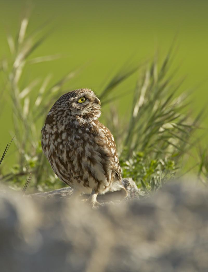 Little Owl, Balaguer 2012