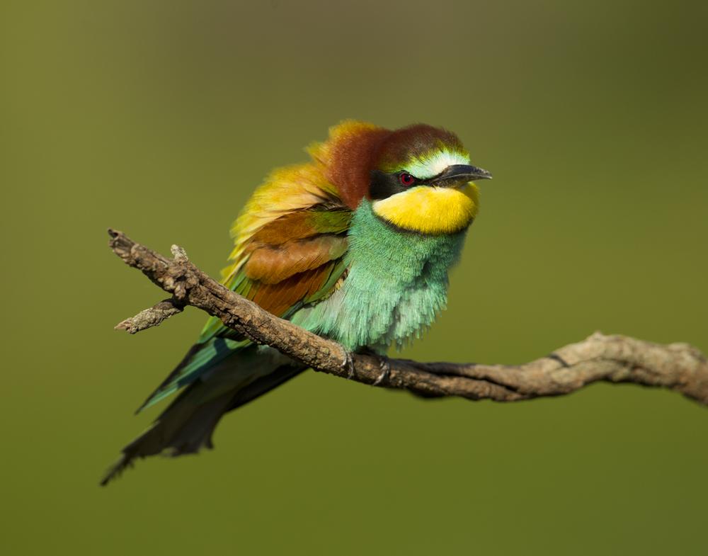 European Bee-eater, Balaguer May 2011