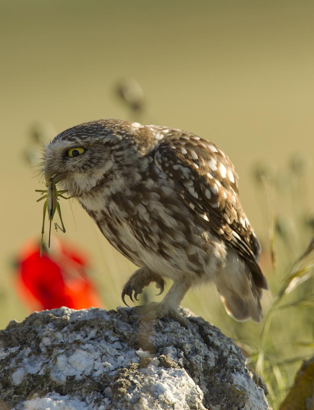 Little Owl, Balaguer May 2011