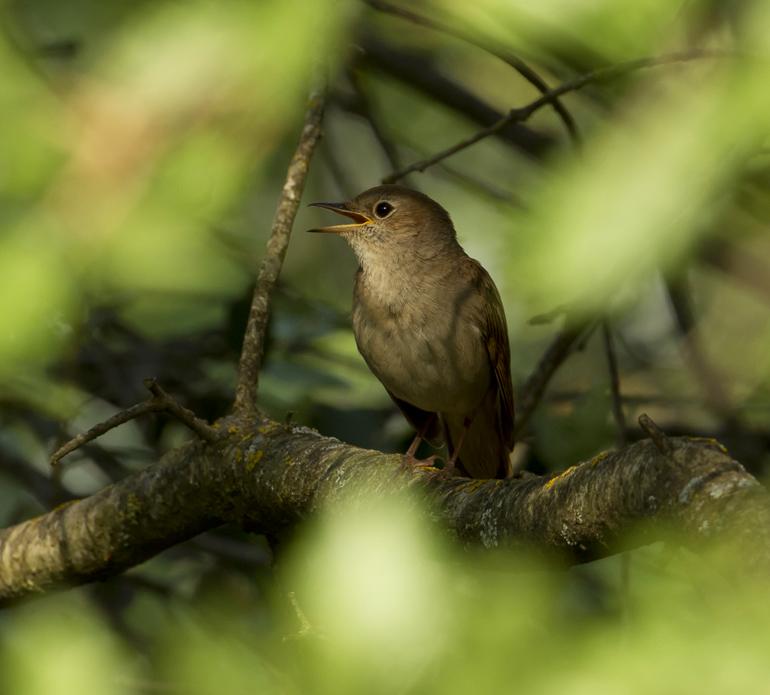 Common Nightingale, Montsonís May 2011