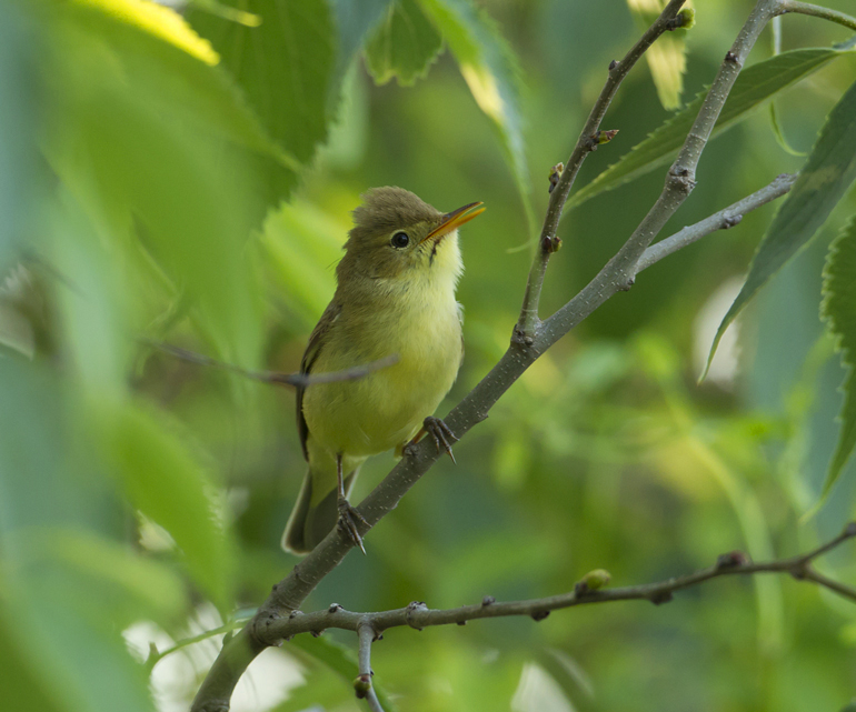 Melodious Warbler, Montsonís May 2011