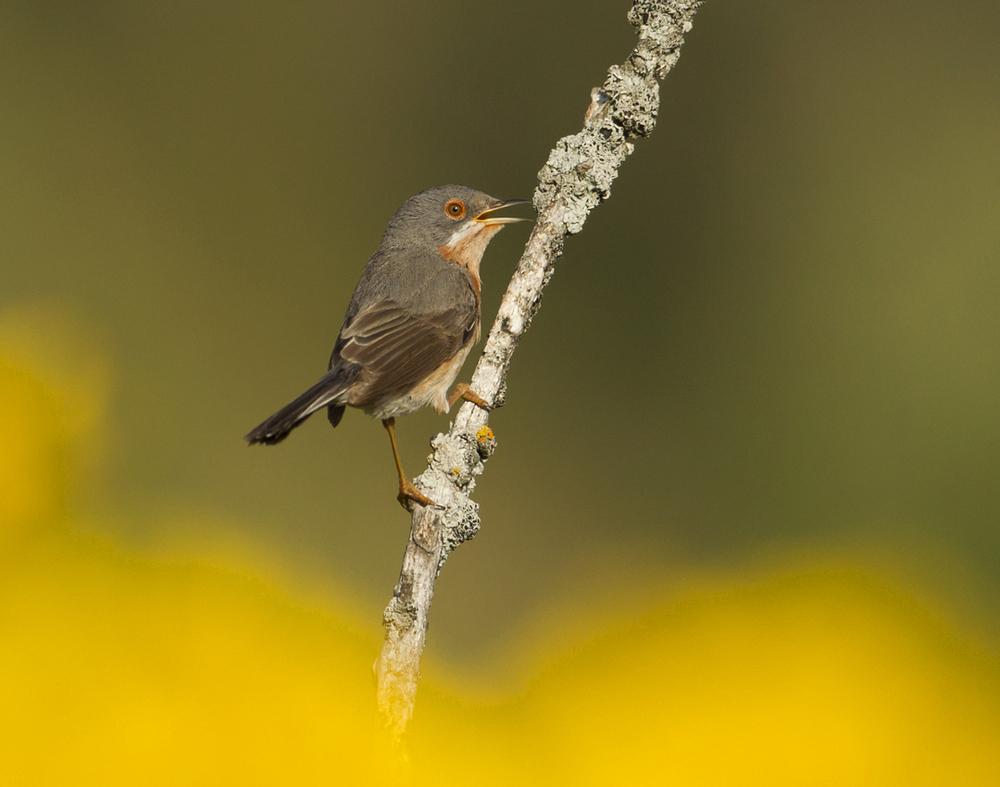 Subalpine Warbler, Buseu May 2011