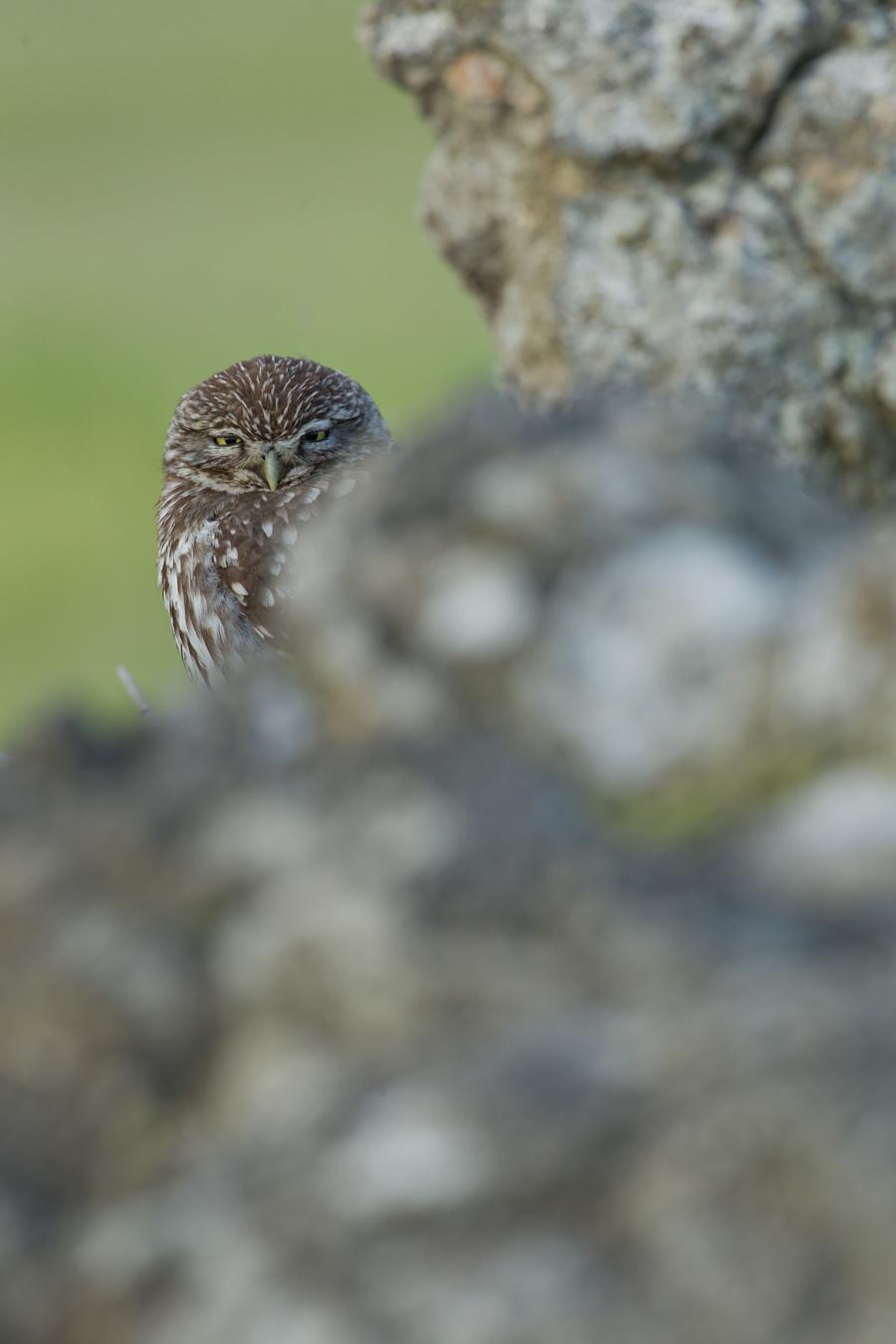 Little Owl, Balaguer 2013