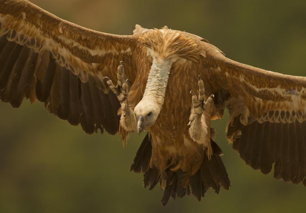 Eurasian Griffon Vulture, Buseu May 2012