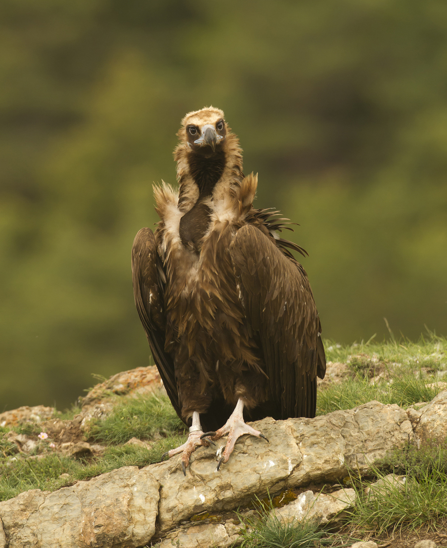 Cinereous Vulture, Buseu May 2011