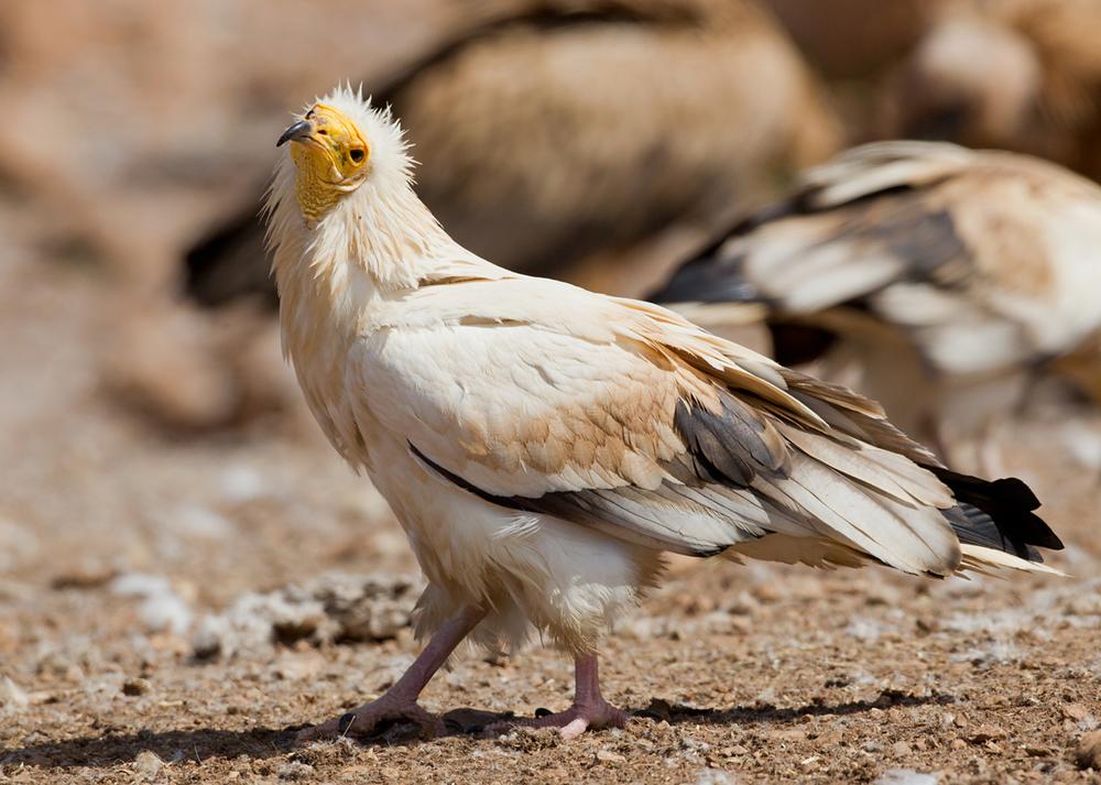 Egyptian Vulture, Serra de Boumort May 2013