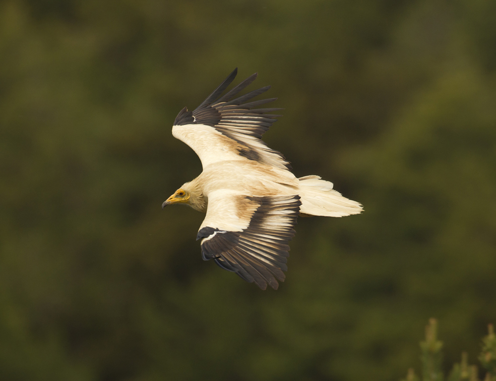 Egyptian Vulture, Buseu May 2012