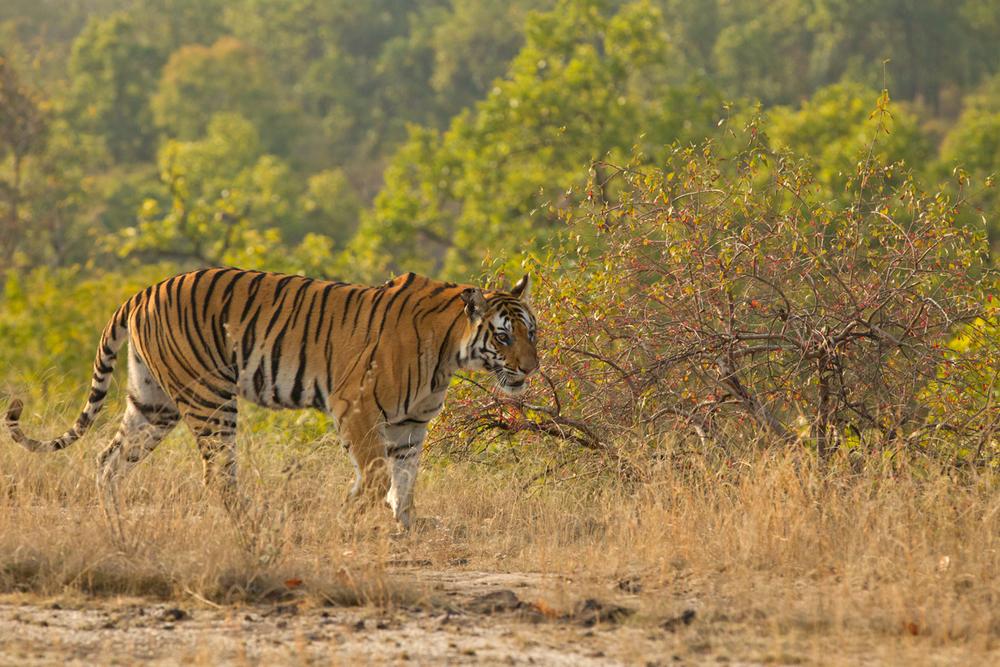 Bengal Tiger, Bandhavgarh NP Feb 2013