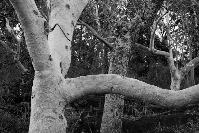 Ghost tree grove, Kanha NP Feb 2013