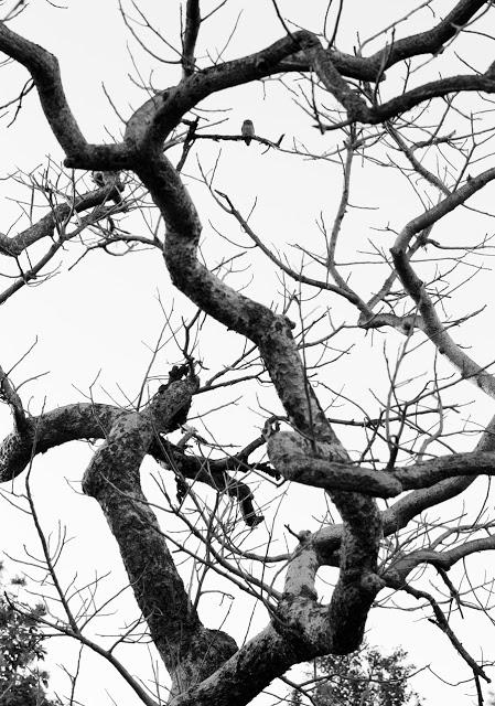 Jungle Owlet, Kanha NP Feb 2013