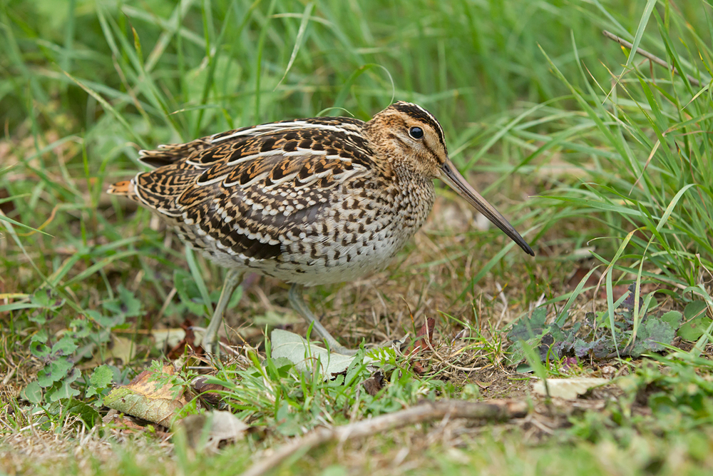 The Kilnsea Great Snipe (Mike Watson)