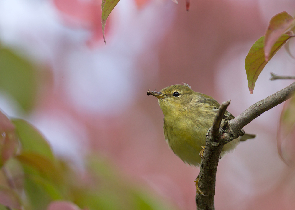 Blackpoll Warbler, Magee Marsh boardwalk (Mike Watson)