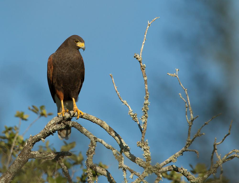 Harris's Hawk, King Ranch TX Nov 2012