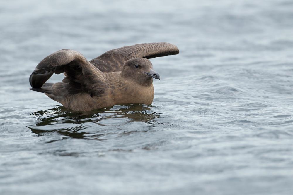 Bonxie at Audenshaw Reservoirs