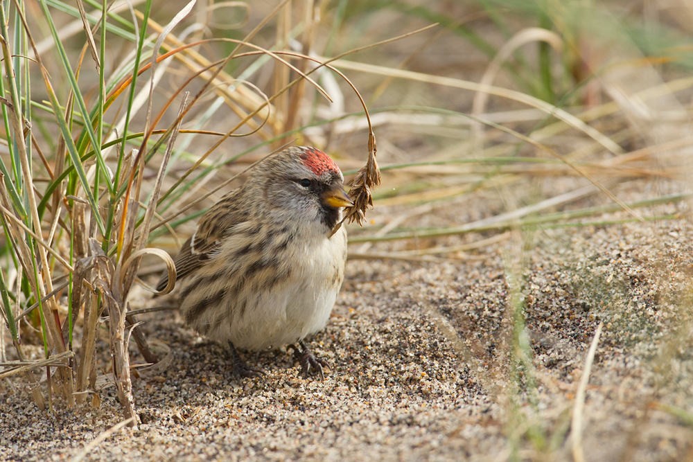 Common (or Mealy) Redpoll, Narrow Neck, Spurn Point