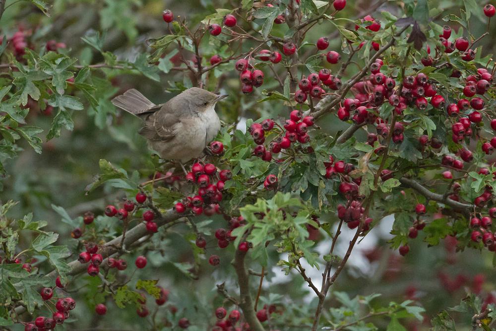 Barred Warbler, Kew Villa, Kilnsea