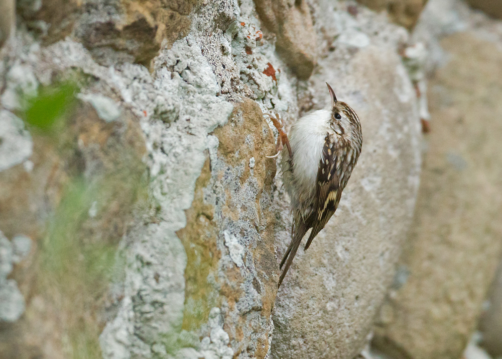Northern Treecreeper, Spurn Point Oct 2013