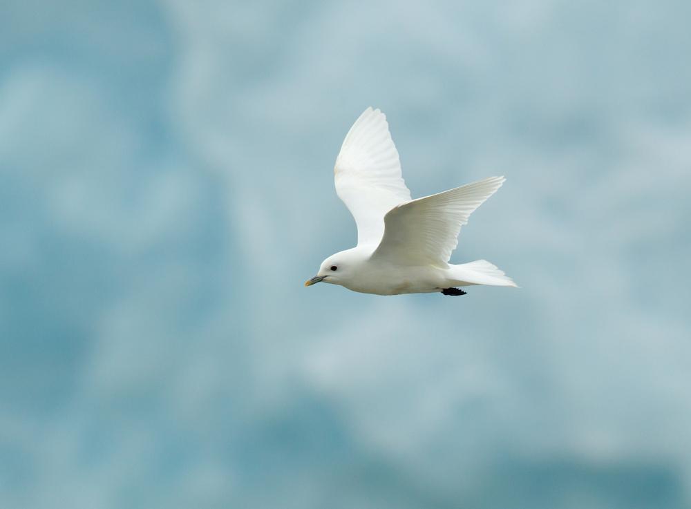Ivory Gull, Negribreen, Northeast Spitsbergen