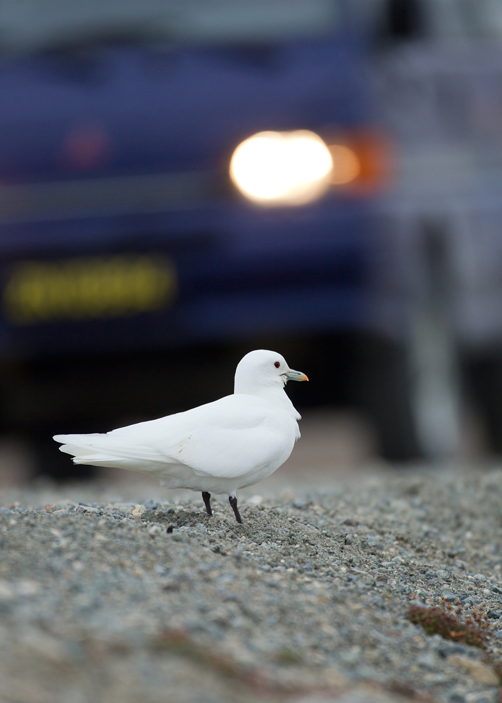 Ivory Gull in headlights, Ny Ålesund Jul 2012