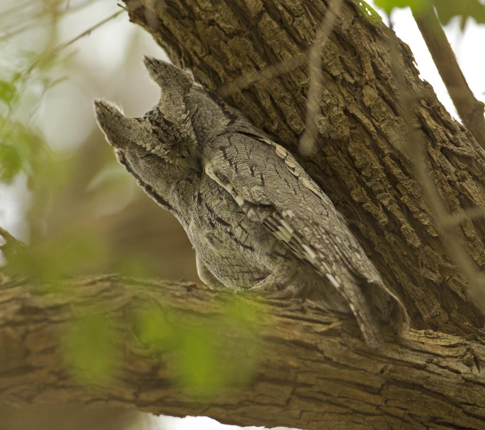 4 Jabal k H87G6171-Pallid-Scops-Owl.jpg
