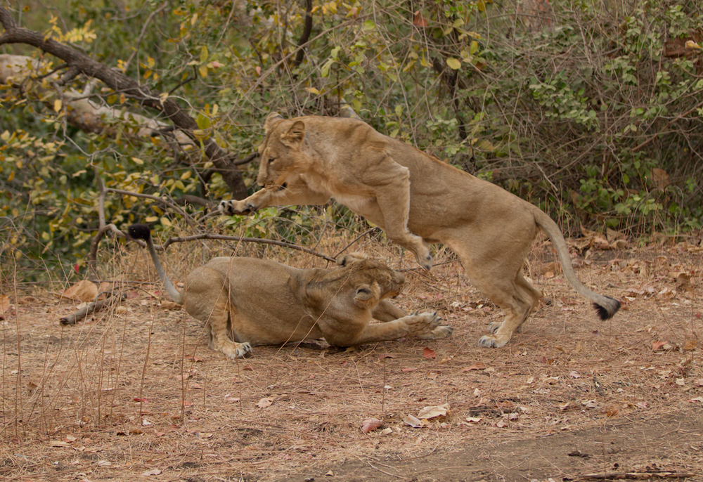 Asiatic Lions, Gir Forest, Gujarat