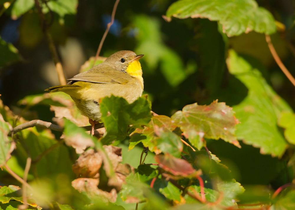 Common Yellowthroat, Cape May NJ Oct 2013