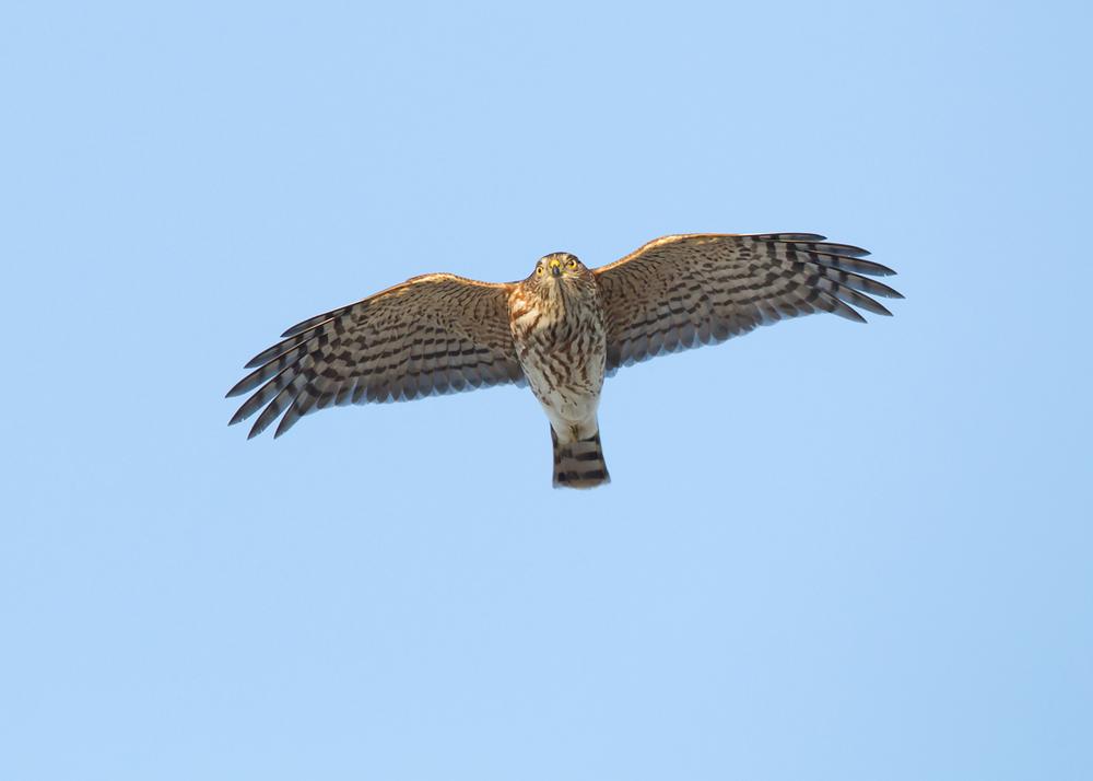Sharp-shinned Hawk, Cape May NJ Oct 2013