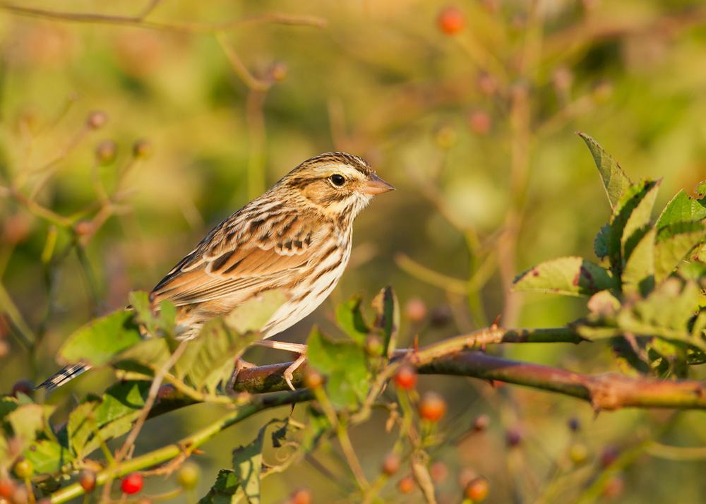 Savannah Sparrow, Cape May NJ Oct 2013