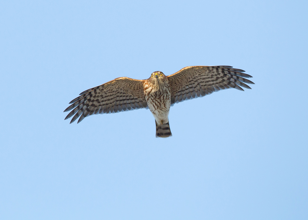 Sharp-shinned Hawk is a very prominent autumn migrant at Cape May.
