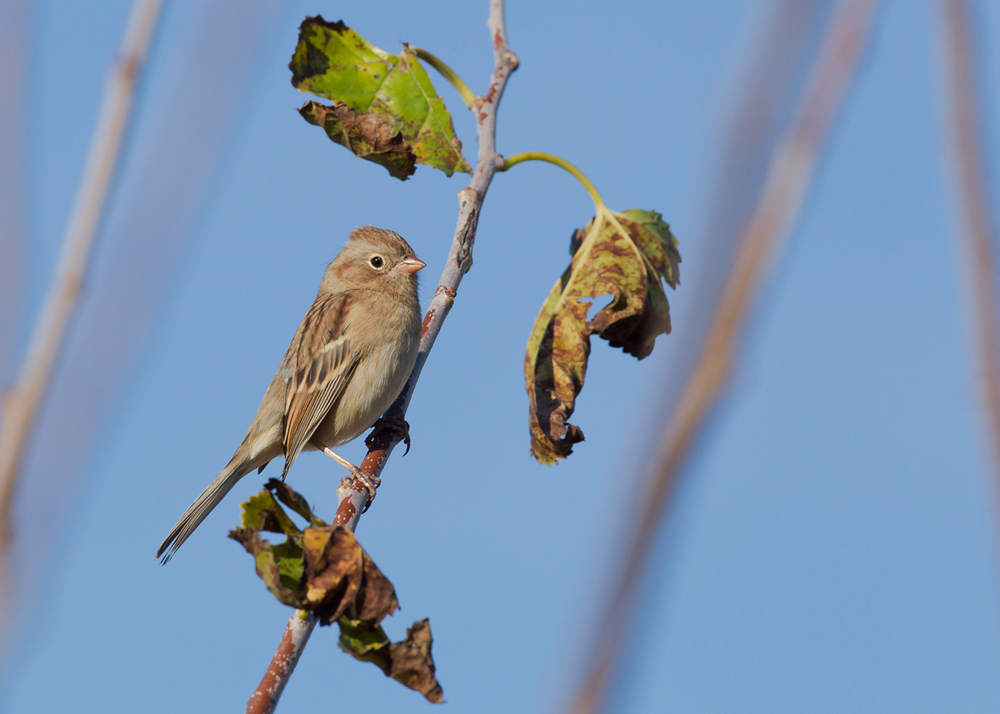 This delicate Field Sparrow obliged at the beanery.