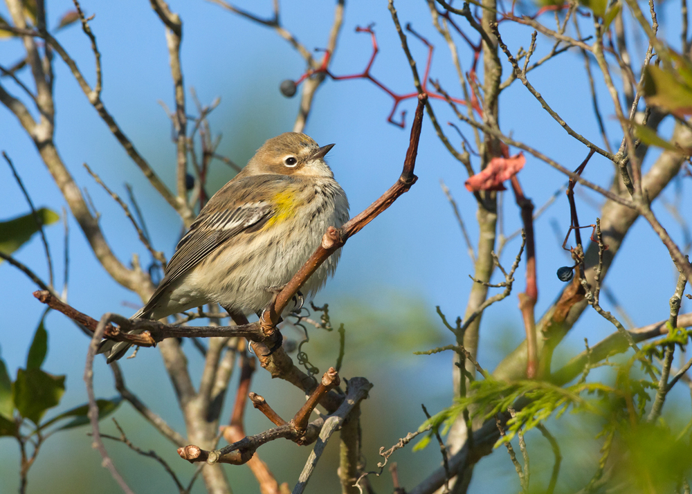 Yet another Yellow-rumped Warbler! Although there were so many of them not all would pose for a photo!