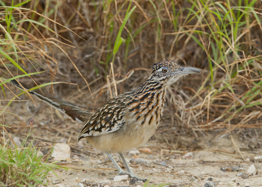 Greater Roadrunner, Falcon Dam State Park