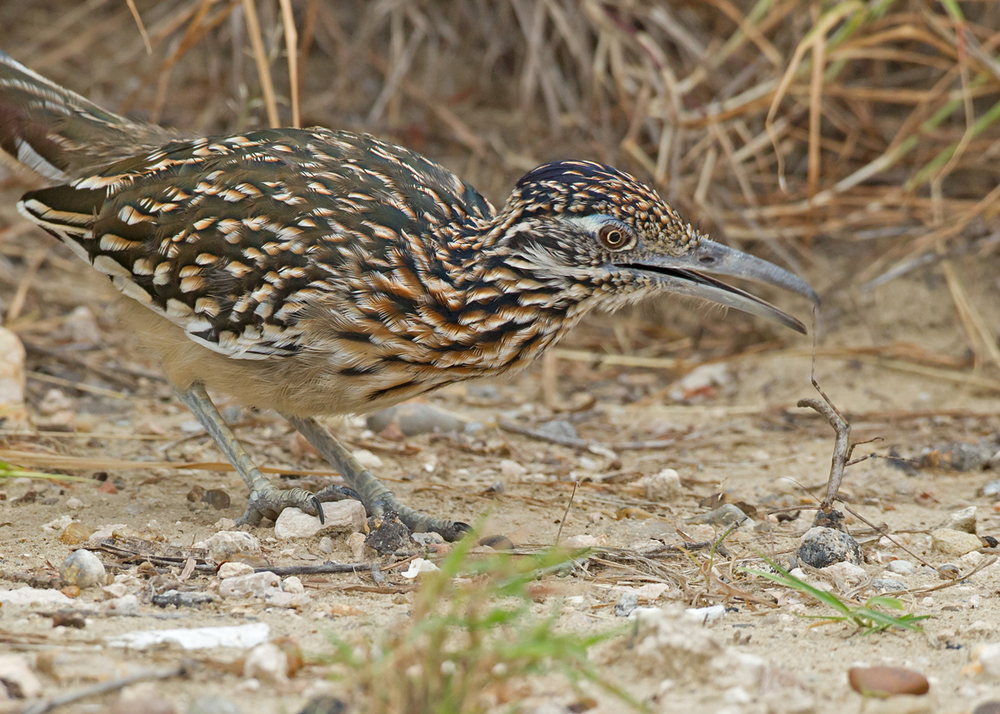 The   roadrunner whacks a stick insect!