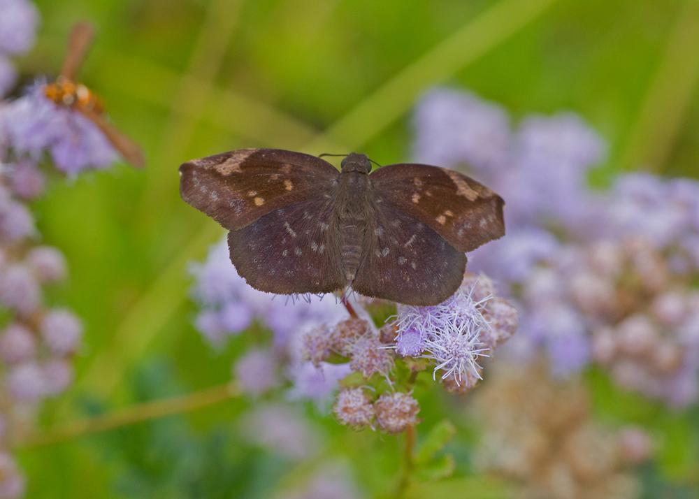 Sickle-winged Skipper, Falcon Dam State Park