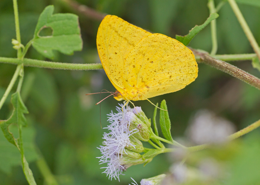Large Orange Sulphur - there are some spectacular sulphurs in the valley!