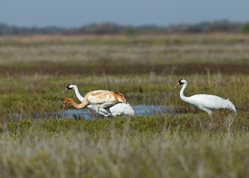 A pair of Whooping Cranes fresh from Wood Buffalo in Canada with their new addition!
