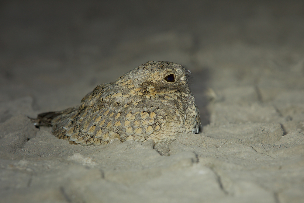 Sykes's Nightjar, Little Rann of Kutch