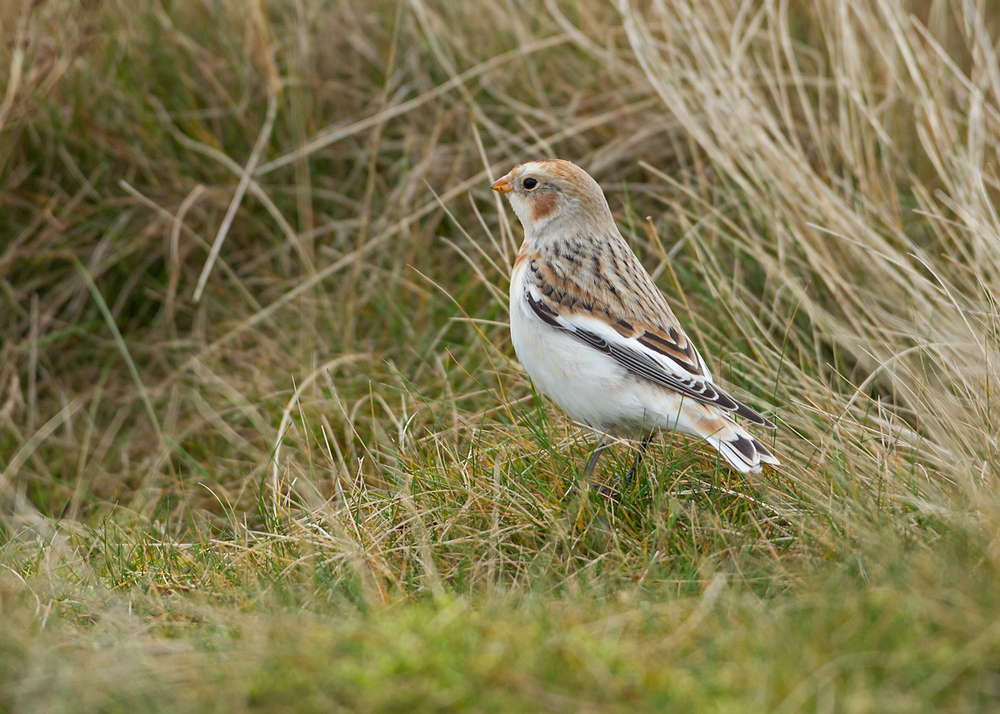 A gorgeous male Snow Bunting on lookout on Pendle Hill