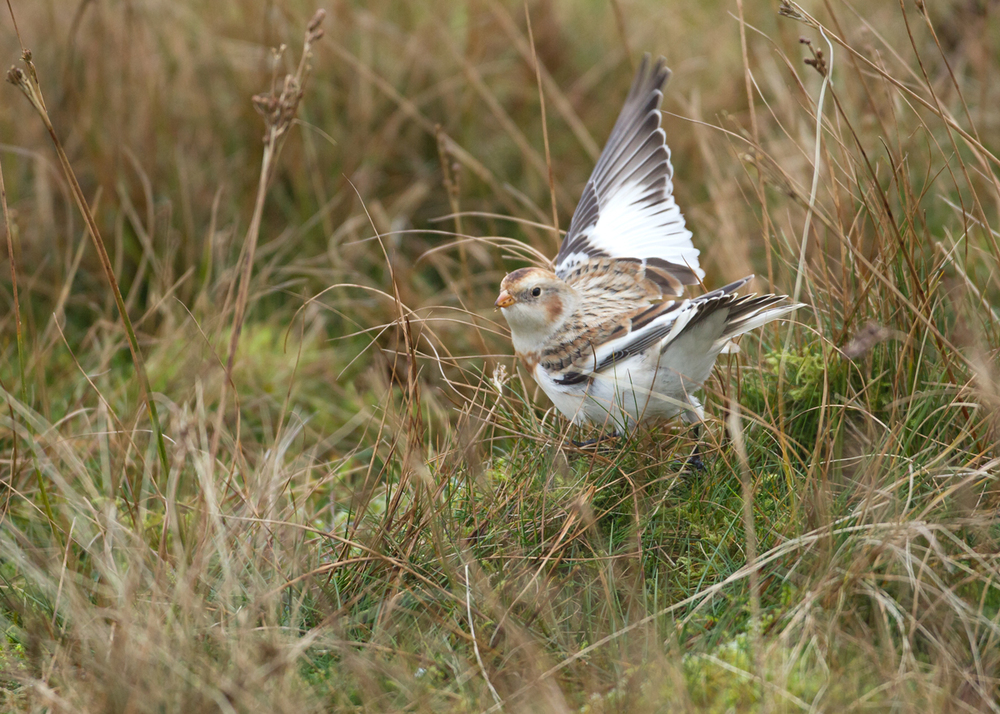 Snow Bunting take-off, Pendle Hill Nov 2013