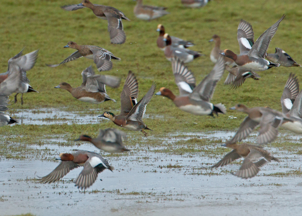 Baikal Teal, with Eurasian Wigeon, on Crossens Marsh at the mouth of the Ribble Estuary
