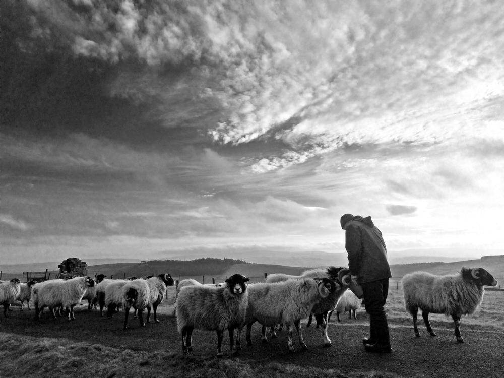 Farmer Richard Hartley feeds his Swaledale sheep
