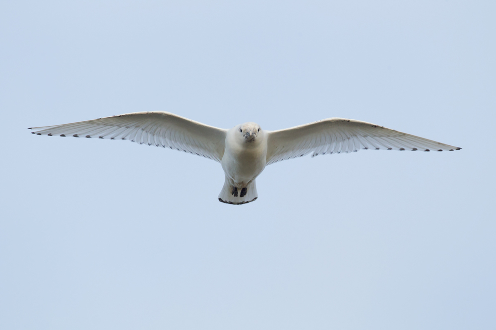 Ivory Gull incoming!