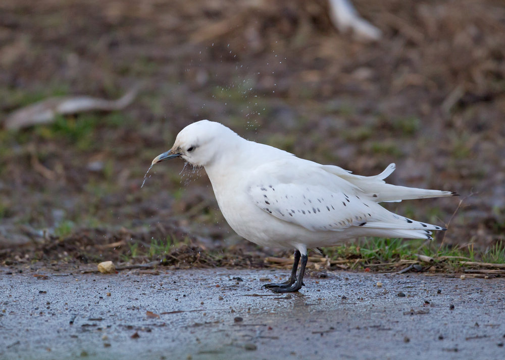Ivory Gull, Patrington Haven, East Yorkshire Dec 2013