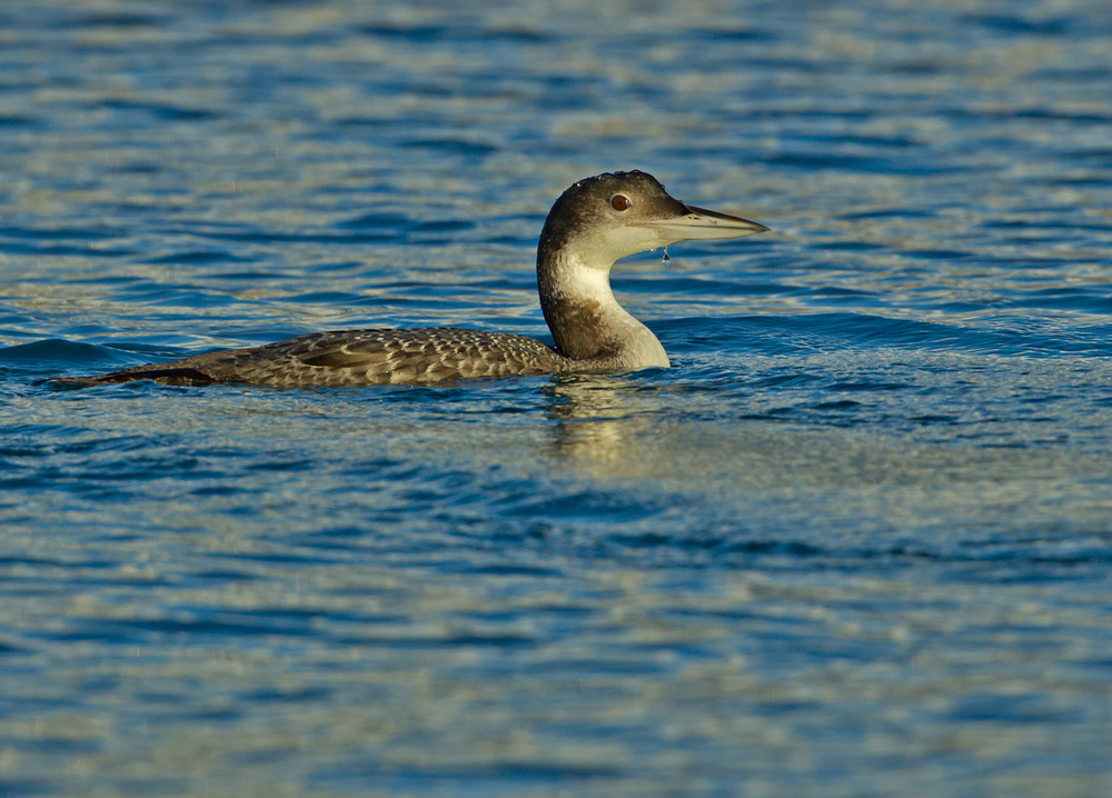 Common Loon, Brixham Marina Jan 2014