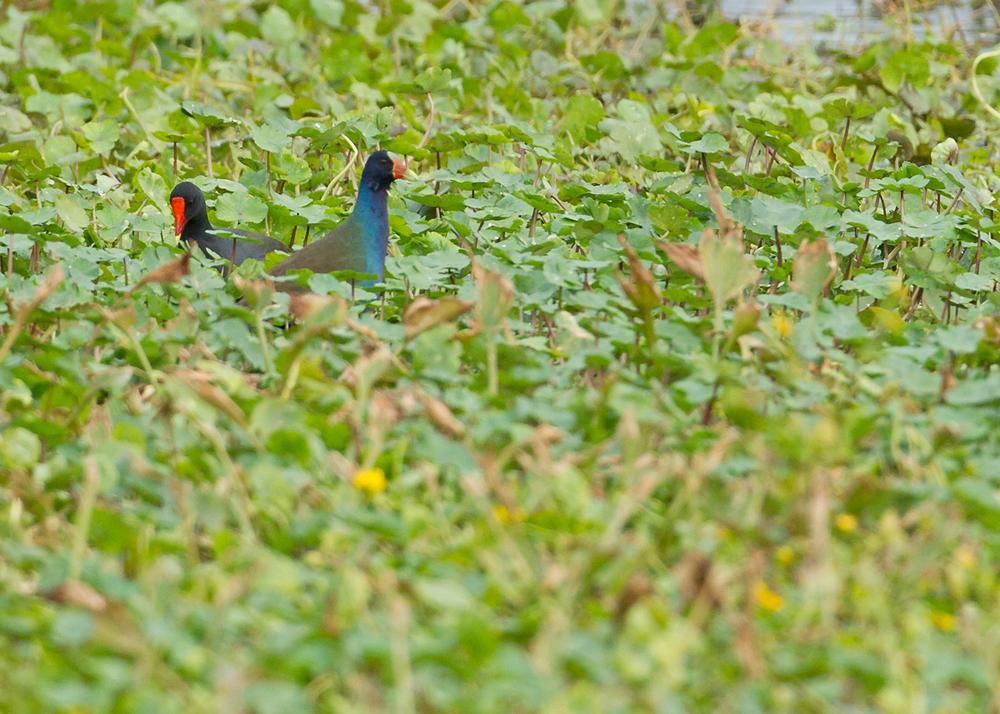 American Purple Gallinule, Blue Heron Wetland, Titusville, FL