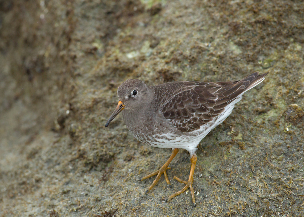 One of two Purple Sandpipers on the Lighthouse Point jetty, Daytona Beach Shores