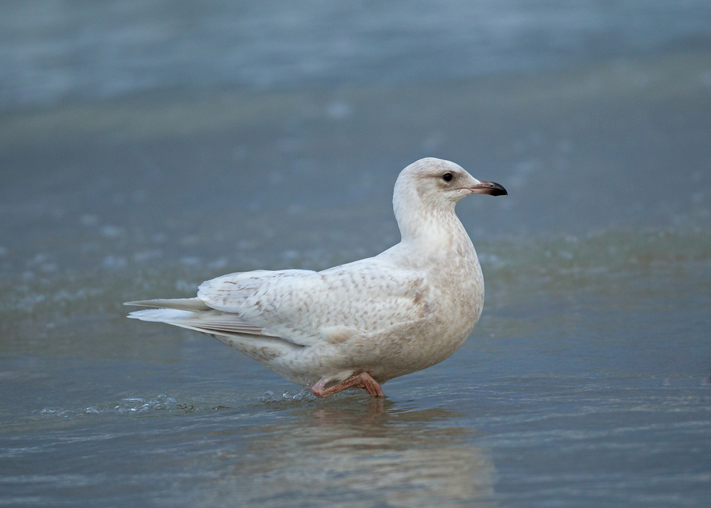 Iceland Gull, Daytona Beach Shores