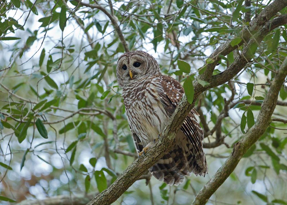 Northern Barred Owl, Titusville FL, Jan 2014