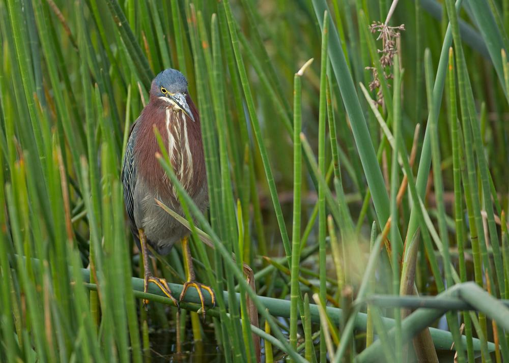 Green Heron, Viera Wetland FL, Jan 2014