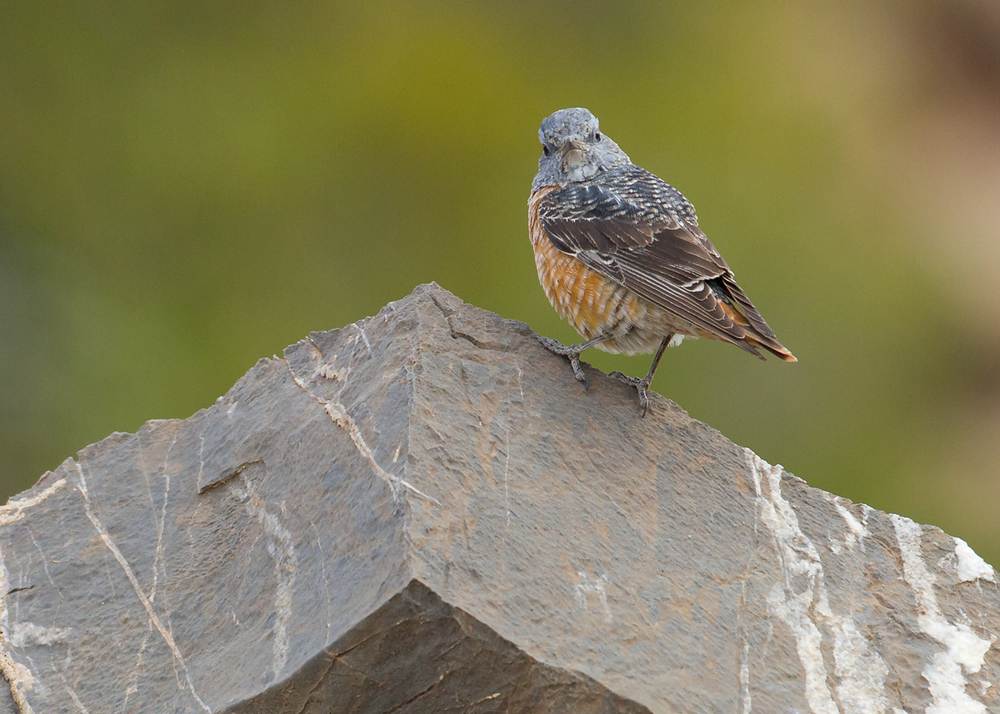 Common Rock Thrush, Sayq Plateau Feb 2014